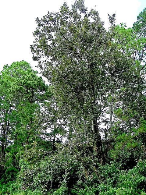 Quercus candicans Née 1801 (FAGACEAE)