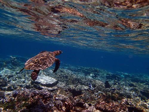Hawksbill turtle | by FamilyRalph