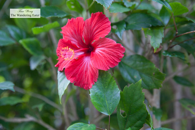 Hibiscus flowers (seen and naturally grown all over Okinawa)