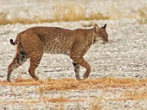Bobcat crop 01-20161123