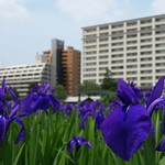 Iris laevigata / Rabbit-ear iris / 杜若・燕子花
