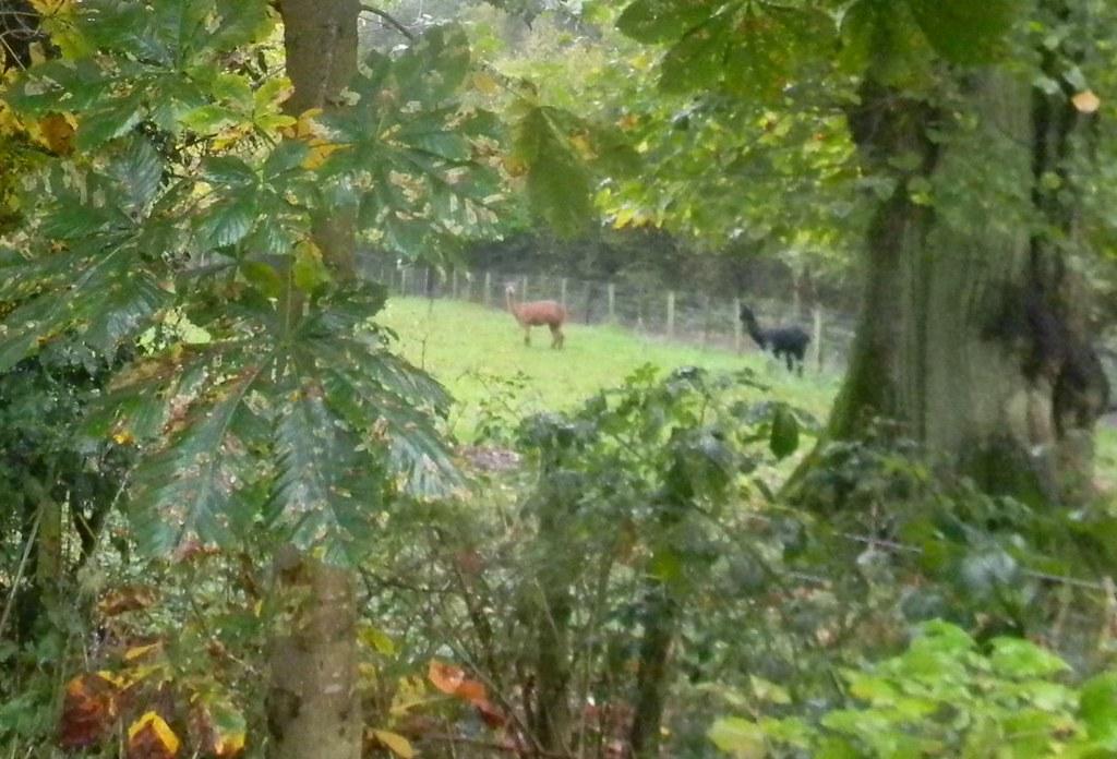 Alpaca Chorleywood to Chesham