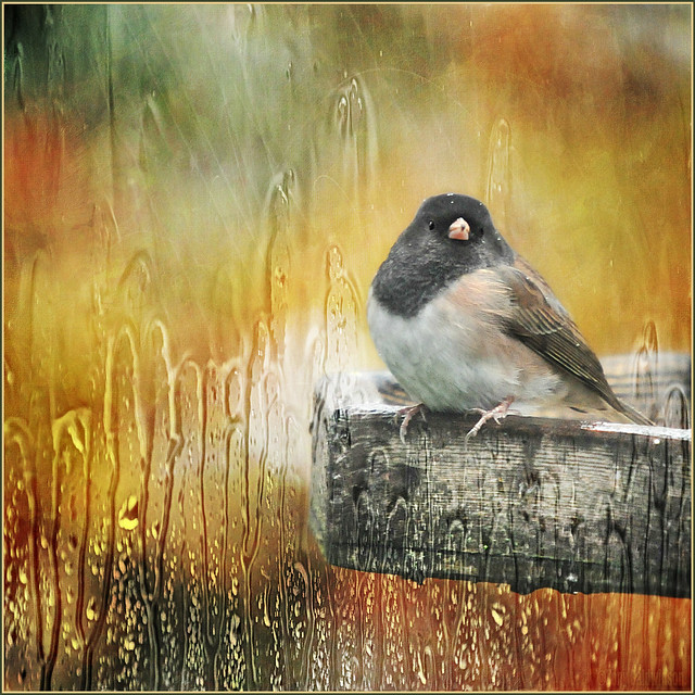 mr dark-eyed junco in the rain . . .