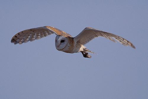 Wildlife in British Columbia, Canada: Barn Owl