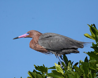 Reddish Egret | by Keith Carlson
