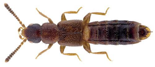 Anomognathus cuspidatus (Erichson, 1839)  Male | by urjsa