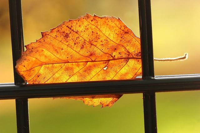 Série feuilles prisonnières 010 La beauté. / Series Leaves prisoners 010 The beauty.