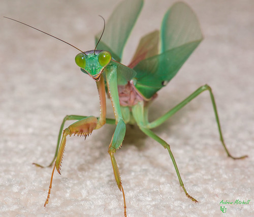 Rhombodera basalis (Giant Malaysian Shield Mantis) (Adult)