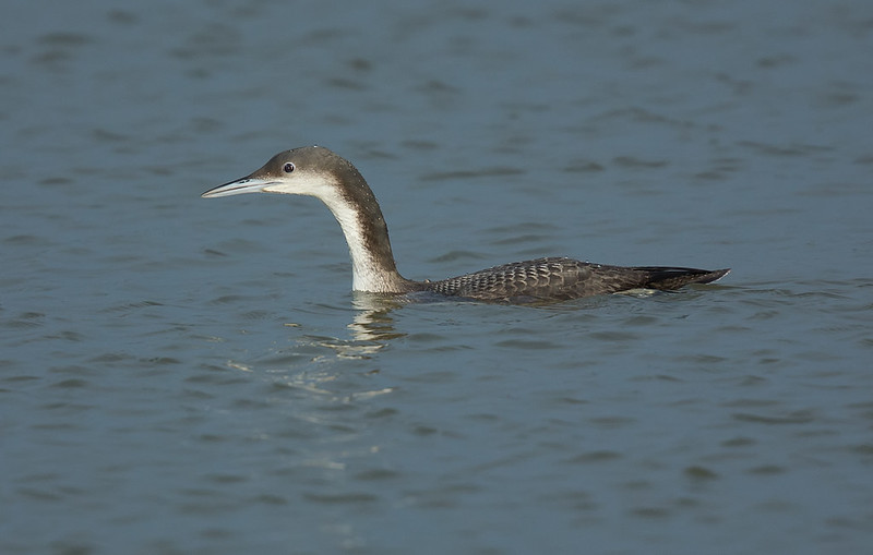 Black-throated Diver juvenile