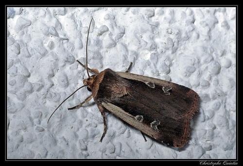 Ochropleura plecta