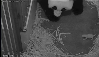 National Zoo Panda Cub Update: Day 6 | by Smithsonian's National Zoo