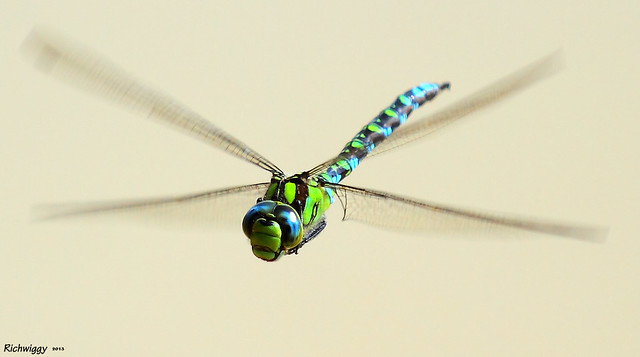 southern hawker male dragonfly in flight IMG_0208