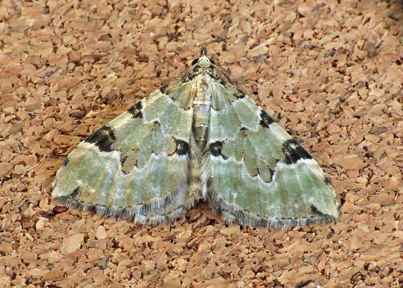 1776 Green Carpet - Colostygia pectinataria