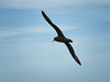 White chinned Petrel in flight by jurassicjay