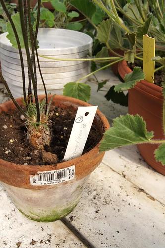 Pelargonium violiflorum