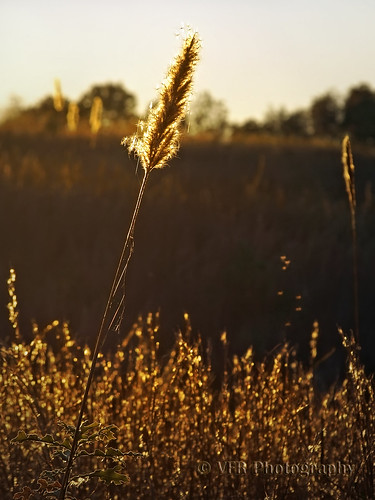 autumn fall nature field grass backlight rural countryside stem glow tn head tennessee country seed seeds heads stems fields glowing grasses gnat backlighting lateafternoon earlyevening gnats goldenlight spidersilk stewartcounty nearcumberlandcity cumberlandcityroad