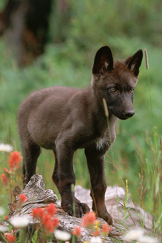Wildlife in British Columbia, Canada: Gray Wolf (Timber Wolf) Pup