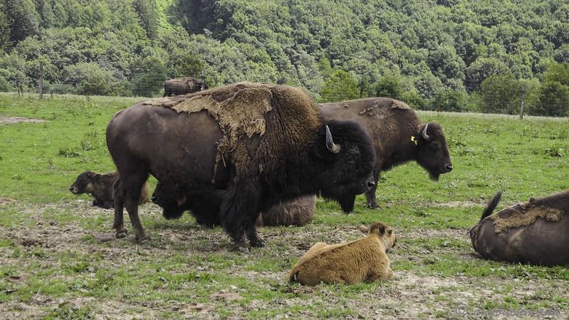 Ferme Des Bisons