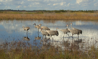 Flock of Sandhill Cranes