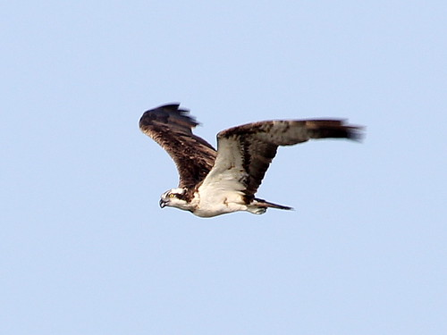 Osprey; Pandion haliaetus | by phenolog
