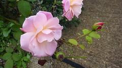 Rose roses in the fall