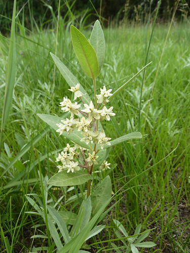 Asclepias ovalifolia   by Vicinum