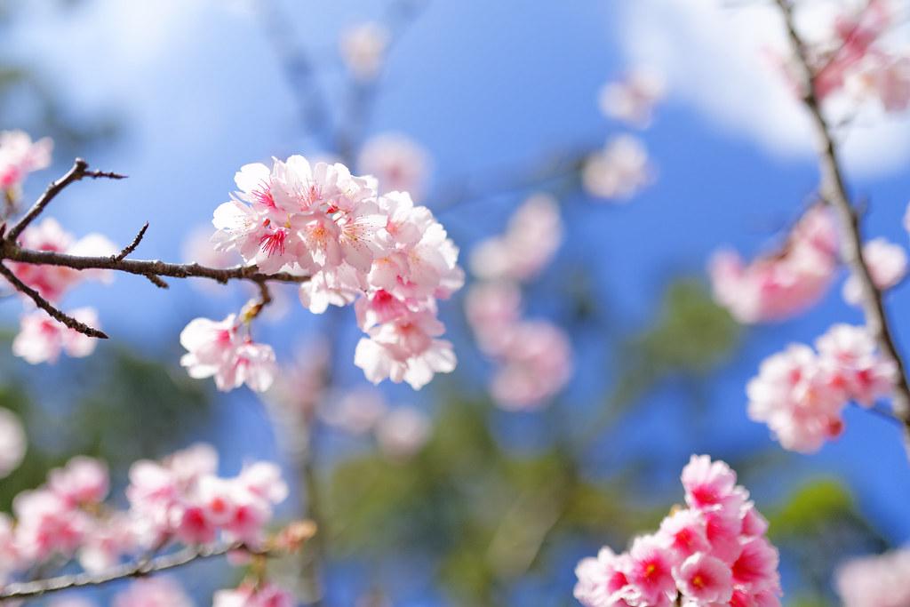Sakura in Okinawa 冲绳八重樱
