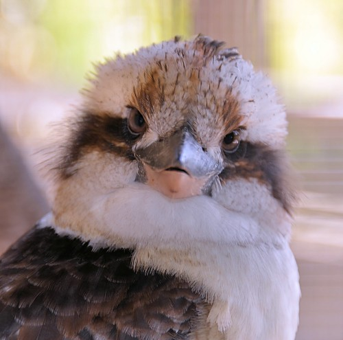 portrait zoo texas kingfisher kookaburra brownsville dacelonovaeguineae gladysporterzoo nikond7000 nikkor18to200mmvrlens
