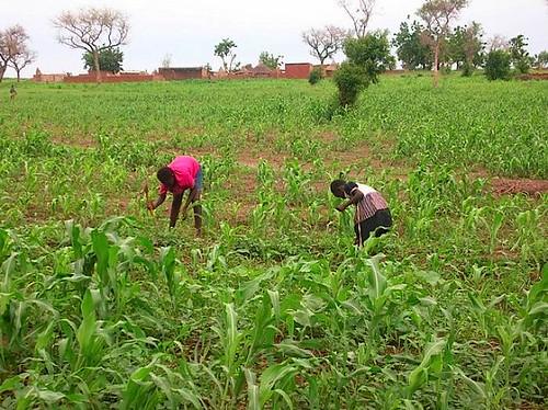 02-I campi di miglio durante la stagione delle piogge | by madiro2007