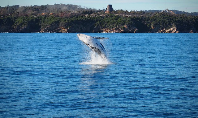 Humpback calf breaches in Twofold Bay, Eden, October 2016
