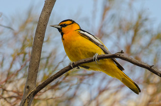 Bullock's Oriole | by madrones