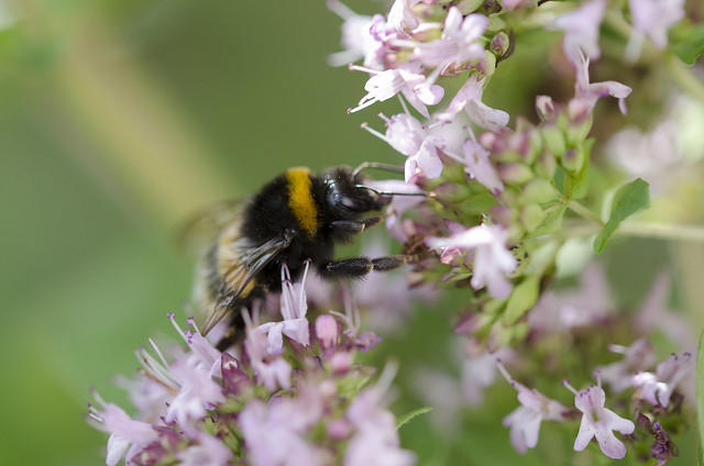 Large Earth (or Buff Tailed) Humble-bee on Basil
