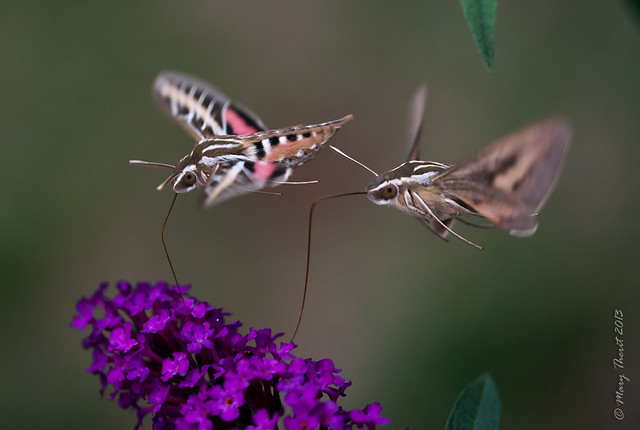 Sphinx or Hummingbird Moths