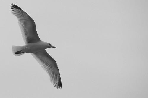 Gull 0813 8430 | by Ross Elliott