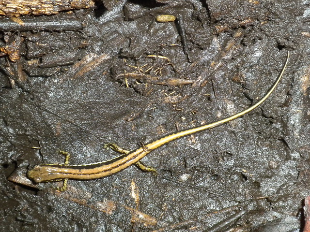 3-lined salamander