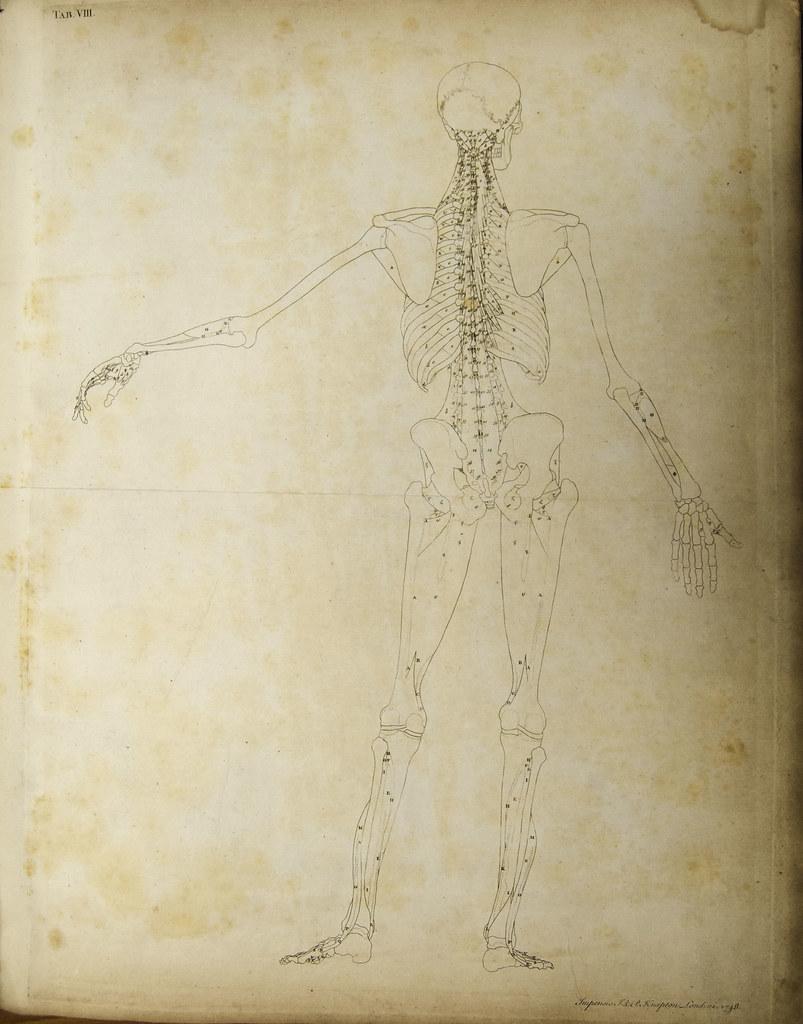 Anatomical diagram of the human skeleton (rear view)