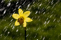Daffodil Drizzle
