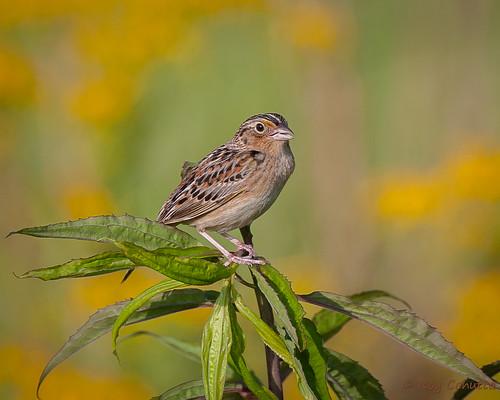 georgia sparrow breeding gilmer ellijay emberizidae grasshoppersparrow ammodramus savannarum emberizine cohuttacabinspringgilmer