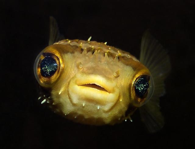 Slender-spined porcupine fish (Diodon nichthemerus) portrait