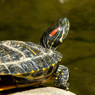 Red-eared Slider.jpg | by docoverachiever