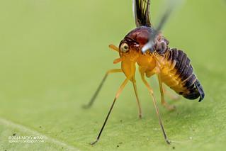 Derbid planthopper (Derbidae) - DSC_2699