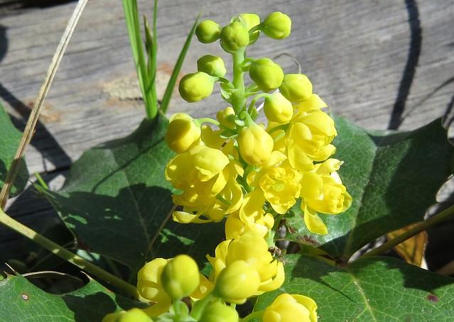 Hollygrape