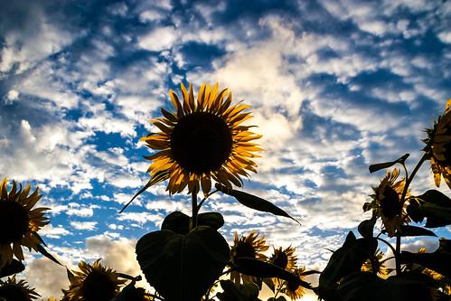 summer japan sunflower 日本 kanagawa nihon zama 神奈川 ひまわり 18200mm canon450d 座間 ひまわり畑 sunflowerfestival2012