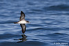 Pink-footed Shearwater (Puffinus creatopus) by Stefan Johansson.