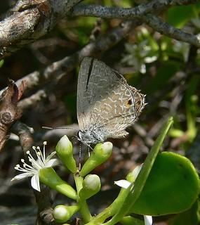 Lumnitzera racemosa with Dark ciliate blue butterfly Anthene seltuttus Airlie Beach 919