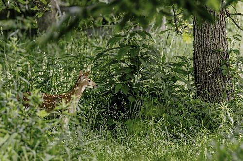 animals illinois thegrove wildlife deer fawns whitetaileddeer glenview nikkor18300mm