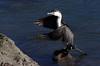 Pied shag Phalacrocorax varius, Heathcote Avon river estuary by Maureen Pierre