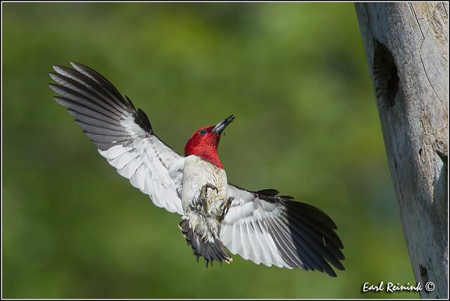 Red-headed Woodpecker (130609-0188)