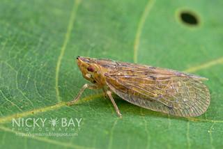 Planthopper (Tropiduchidae) - DSC_0068
