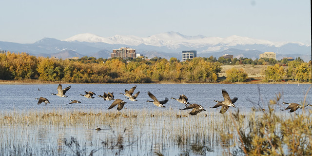 Geese take off with Mt. Evans and DTC in the background...